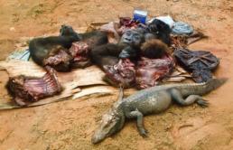 distruzione ecosistemi fauna pandemia